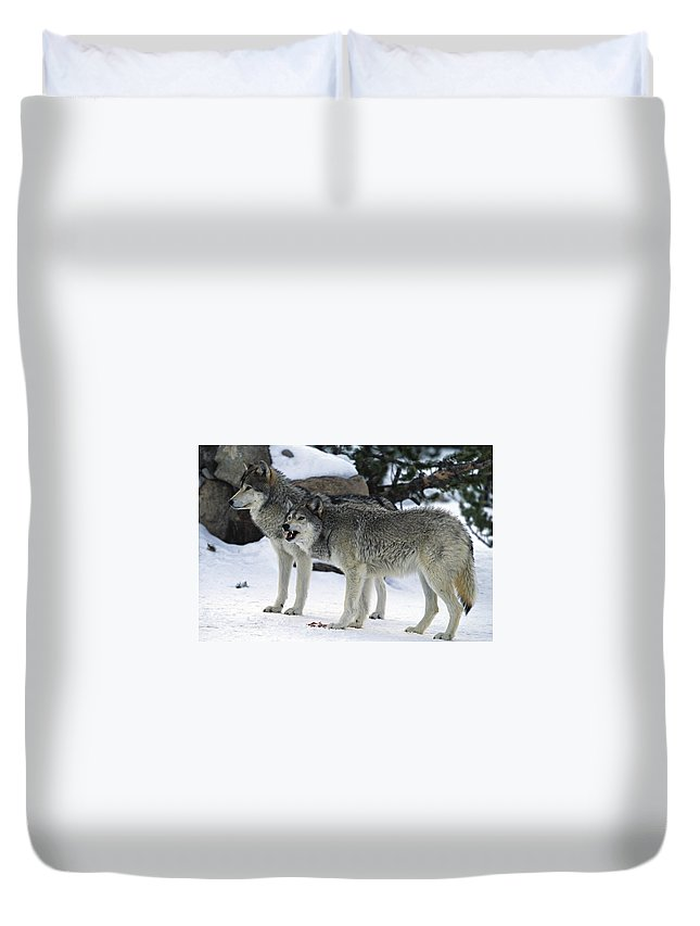 Snarling Duvet Cover featuring the photograph Two Wolves by Judilen
