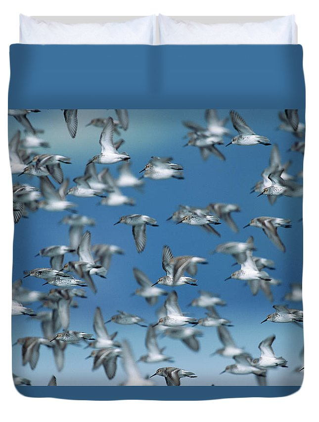 Animal Themes Duvet Cover featuring the photograph Western Sandpipers Calidris Mauri by Eastcott Momatiuk
