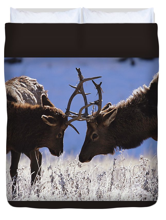 Animal Themes Duvet Cover featuring the photograph Young Bull Rocky Mountain Elk Cervus by Riccardo Savi