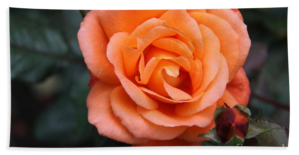 Rose Hand Towel featuring the photograph Splendor by Christiane Schulze Art And Photography