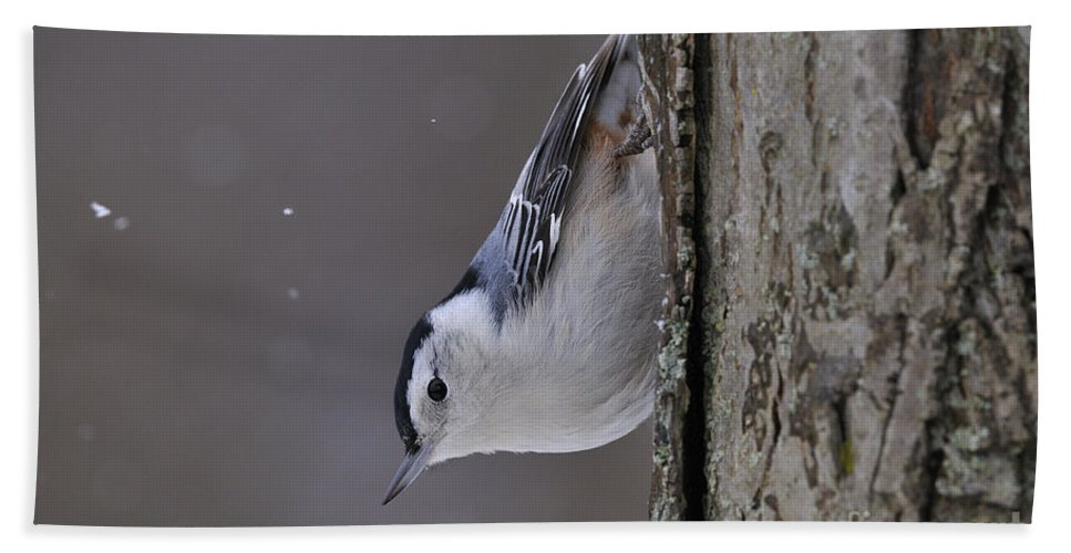 White-breasted Nuthatch Hand Towel featuring the photograph White-breasted Nuthatch Pictures 27 by World Wildlife Photography