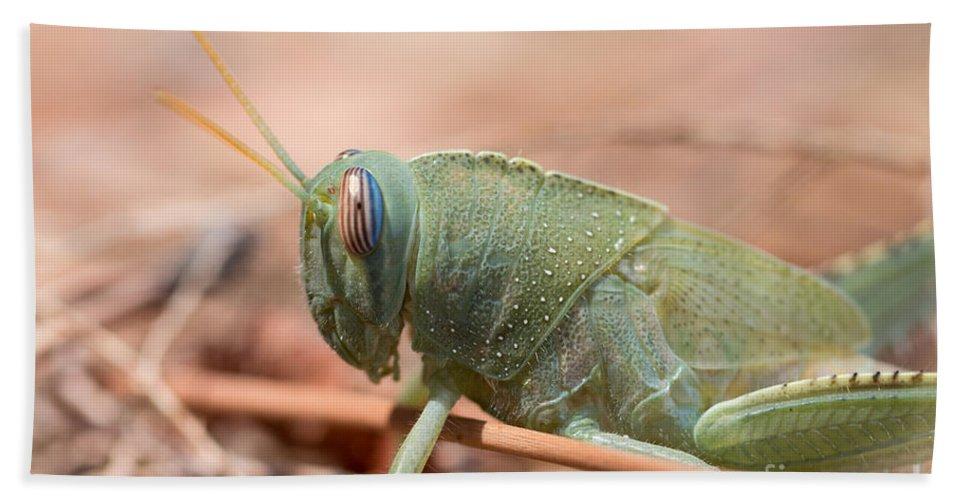 Anacridium Aegypticum Bath Sheet featuring the photograph 08 Egyptian Locust Grasshopper by Jivko Nakev