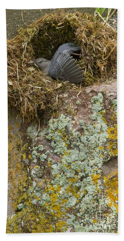 American Dipper Hand Towel featuring the photograph American Dipper In Nest  #1468 by J L Woody Wooden