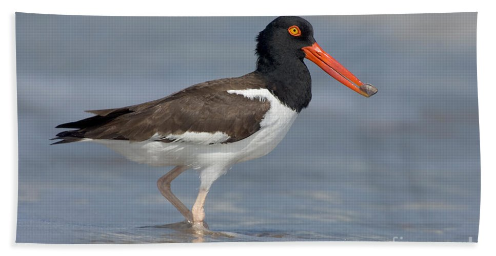 Animal Hand Towel featuring the photograph American Oystercatcher Feeding On Clam by Anthony Mercieca