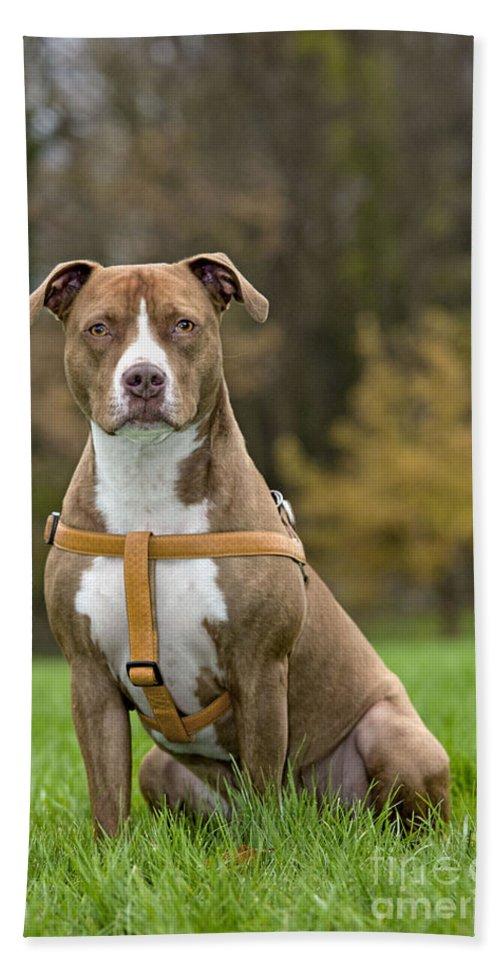 American Staffordshire Terrier Bath Sheet featuring the photograph American Staffordshire Terrier by Johan De Meester