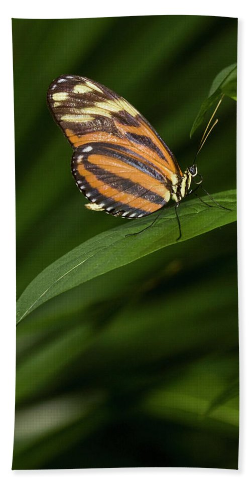 Antennas Hand Towel featuring the photograph An Isabella Butterfly Eueides Isabella by Henry Georgi