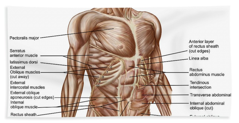 Front View Bath Sheet featuring the digital art Anatomy Of Human Abdominal Muscles by Stocktrek Images