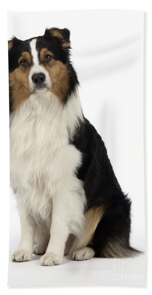 Australian Shepherd Bath Sheet featuring the photograph Australian Shepherd Dog by John Daniels