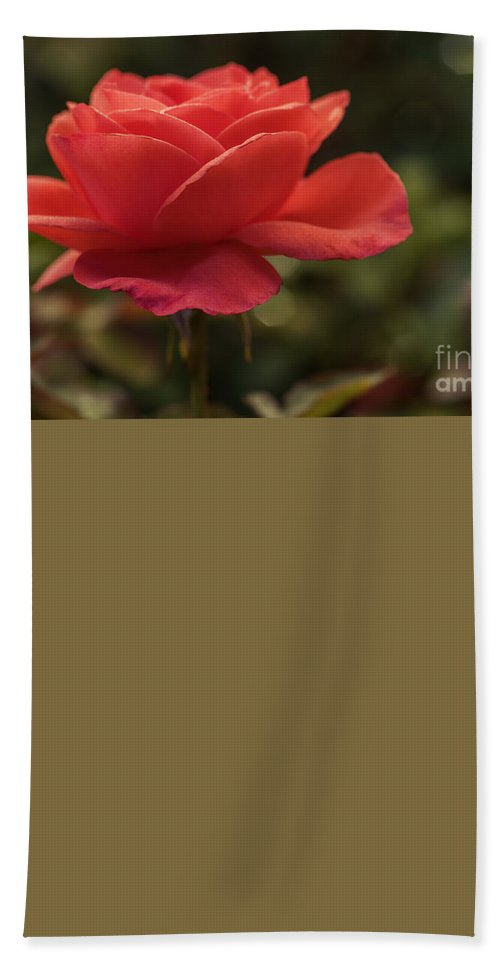Rose Hand Towel featuring the photograph Beautiful Rose by Vishwanath Bhat
