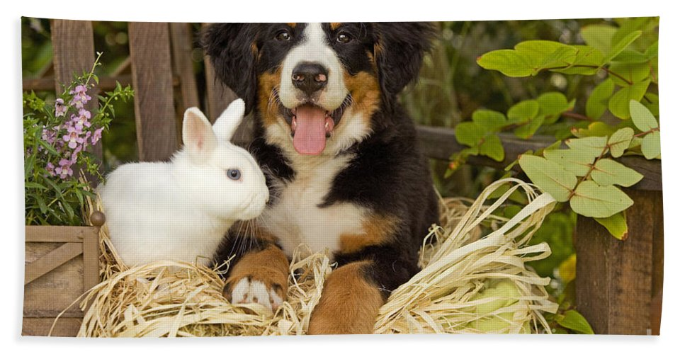 Bernese Mountain Dog Bath Sheet featuring the photograph Bernese Mountain Puppy And Rabbit by Jean-Michel Labat