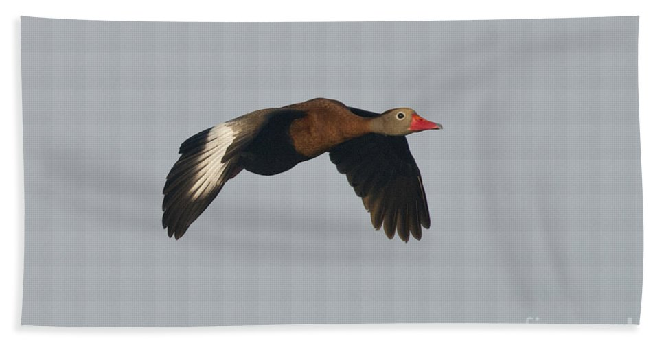 Black-bellied Whistling-duck Hand Towel featuring the photograph Black-bellied Whistling Duck by Anthony Mercieca