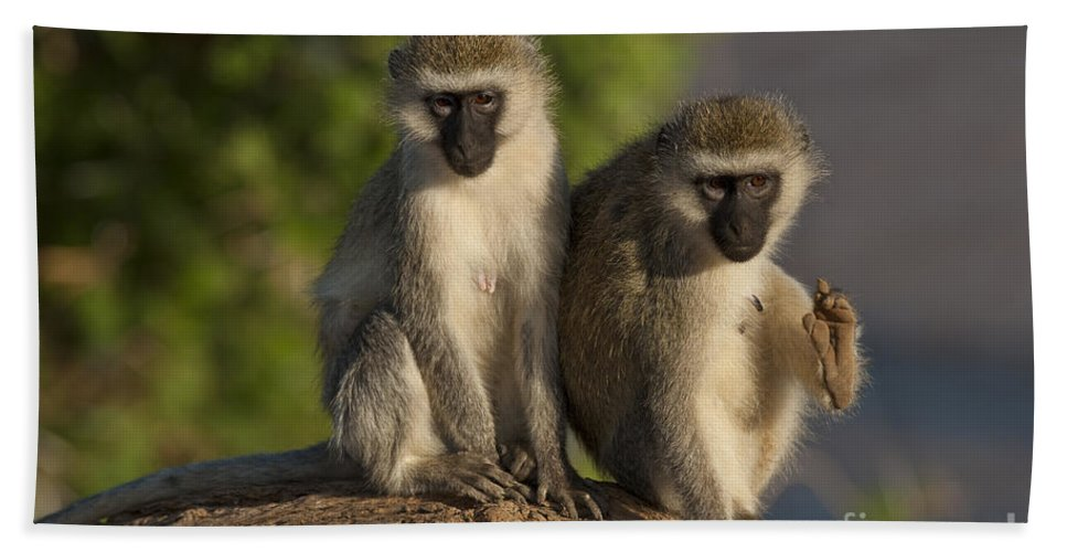 African Fauna Bath Sheet featuring the photograph Black-faced Vervet Monkey by John Shaw