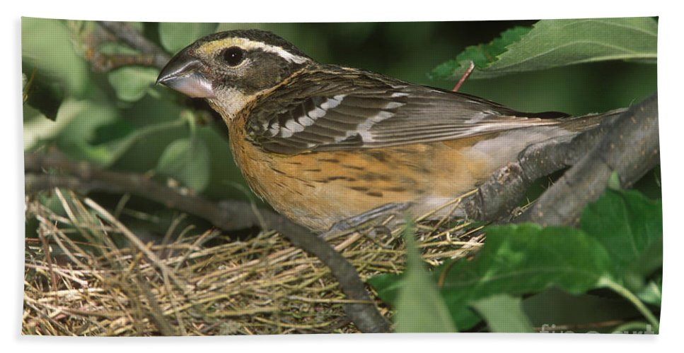 Animal Hand Towel featuring the photograph Black-headed Grosbeak Female by Anthony Mercieca