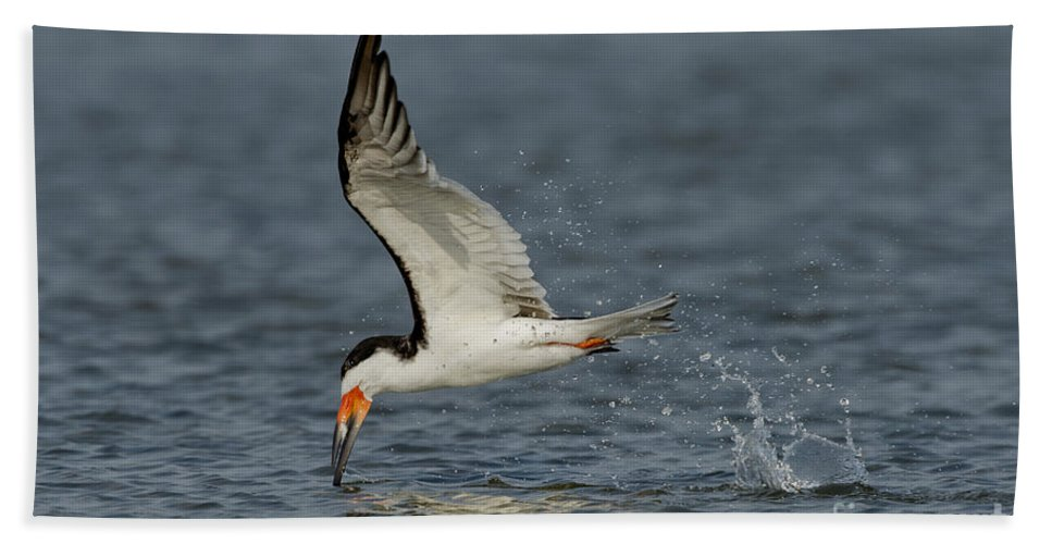Black Skimmer Hand Towel featuring the photograph Black Skimmer Eating Fish by Anthony Mercieca