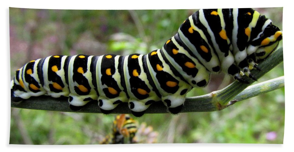 Black Swallowtail Caterpillar Colorful Caterpillars Of North America Black And Yellow Striped Caterpillar Chesapeake Bay Biodiversity Beautiful Bugs Wildlife Wild Animals Rare Nature Natural Design Wall Art In Nature Prints Colorful Critters Hand Towel featuring the photograph Black Swallowtail Caterpillar by Joshua Bales