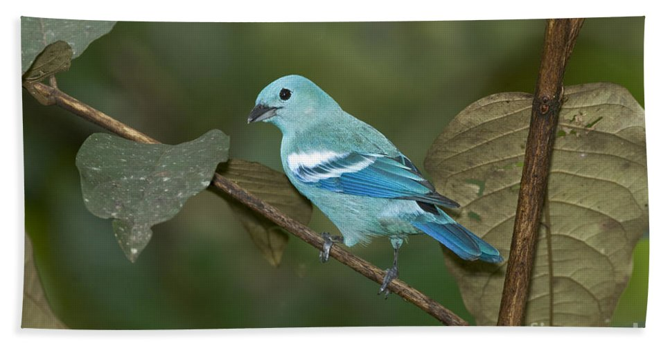 Animal Hand Towel featuring the photograph Blue-gray Tanager by Anthony Mercieca