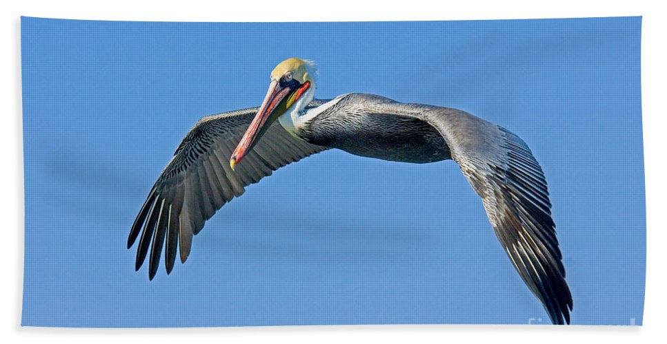 Brown Pelican Hand Towel featuring the photograph Brown Pelican In Flight by Anthony Mercieca