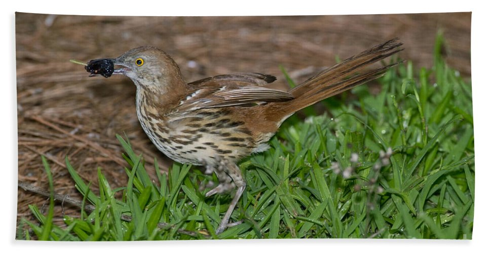 Brown Thrasher Hand Towel featuring the photograph Brown Thrasher by Anthony Mercieca