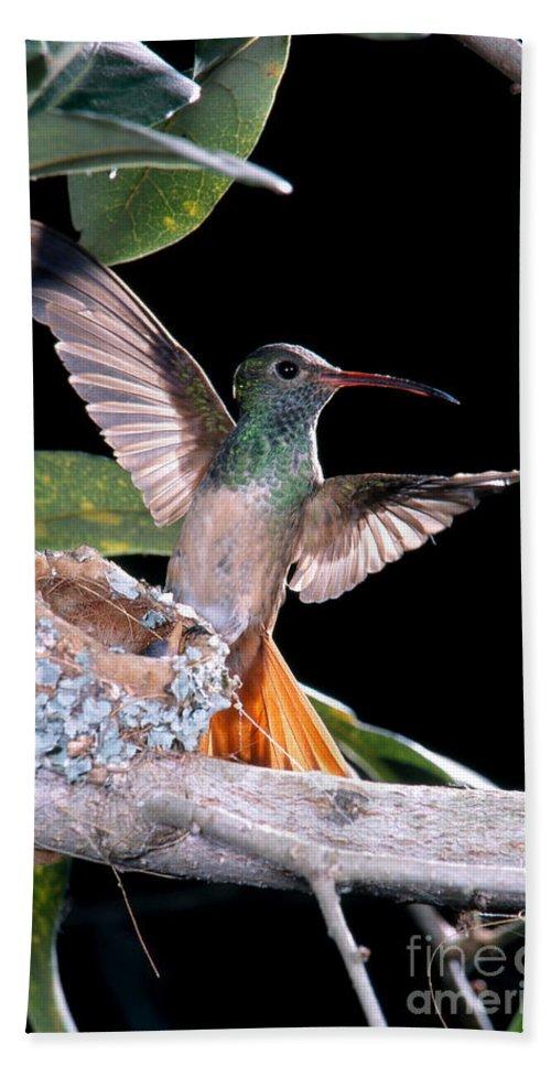 Buff-bellied Hummingbird Hand Towel featuring the photograph Buff-bellied Hummingbird At Nest by Anthony Mercieca
