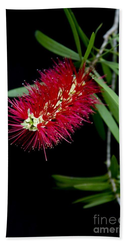 Callistemon Citrinus Bath Sheet featuring the photograph Callistemon Citrinus - Crimson Bottlebrush Hawaii by Sharon Mau