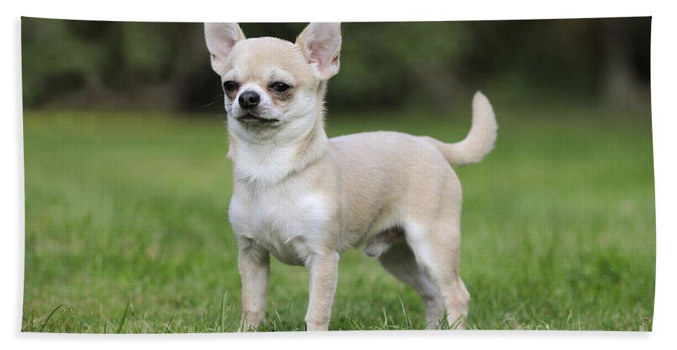 Chihuahua Bath Sheet featuring the photograph Chihuahua Dog by John Daniels