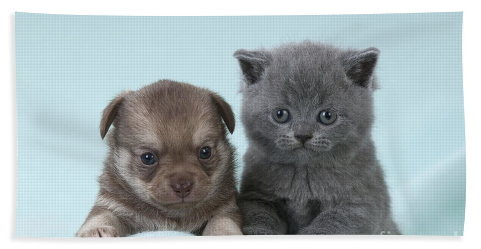 Cat Bath Sheet featuring the photograph Chihuahua Puppy And British Shorthair by John Daniels