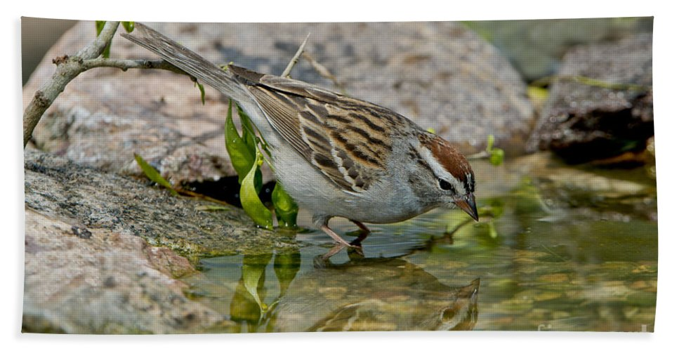 Chipping Sparrow Hand Towel featuring the photograph Chipping Sparrow by Anthony Mercieca
