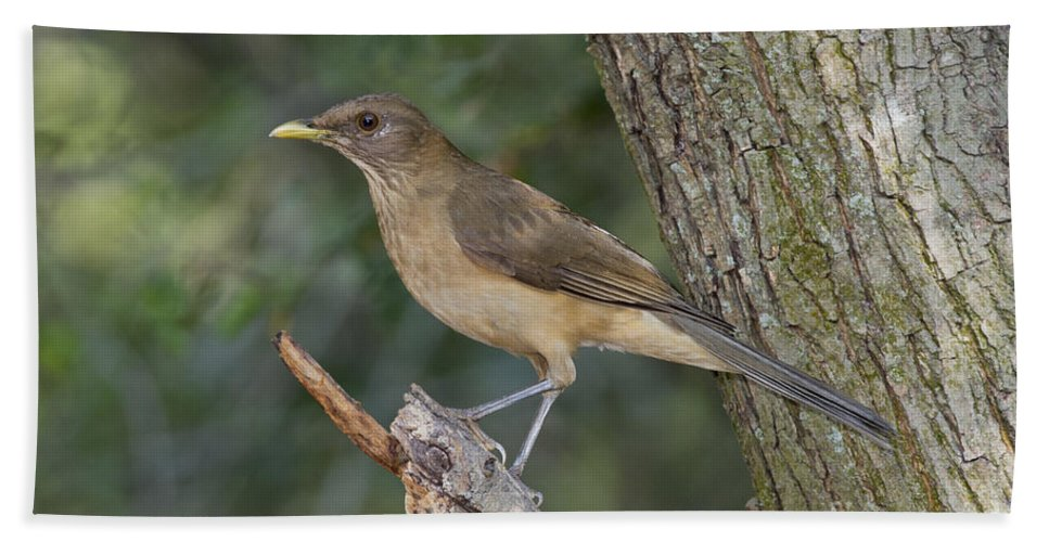 Clay-colored Thrush Hand Towel featuring the photograph Clay-colored Thrush by Anthony Mercieca