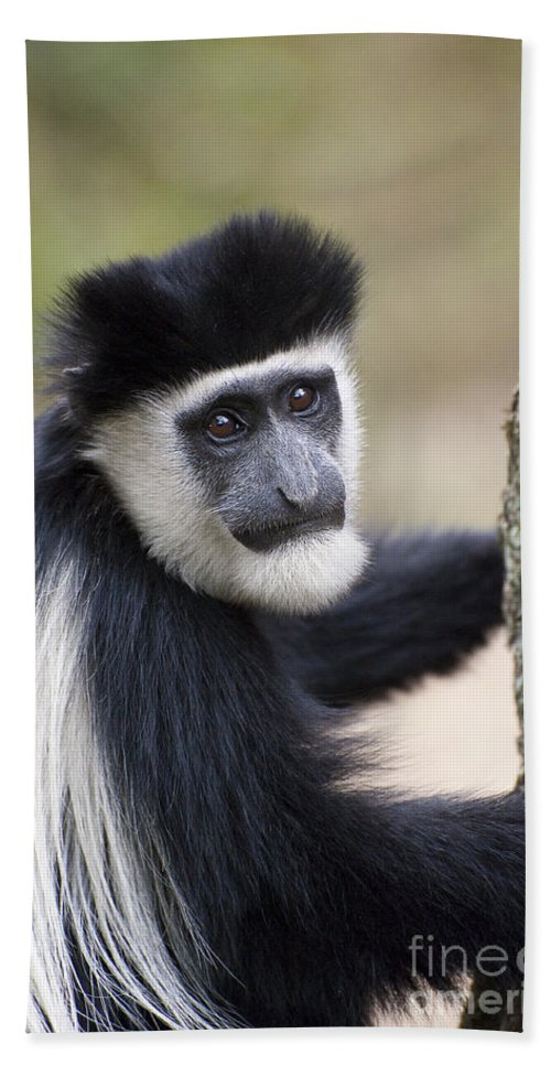 Africa Bath Sheet featuring the photograph Colobus Monkey by John Shaw