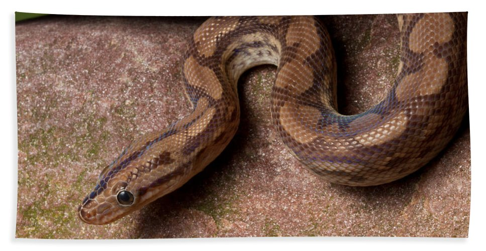 Animal Bath Towel featuring the photograph Colombian Rainbow Boa Epicrates Maurus by David Kenny