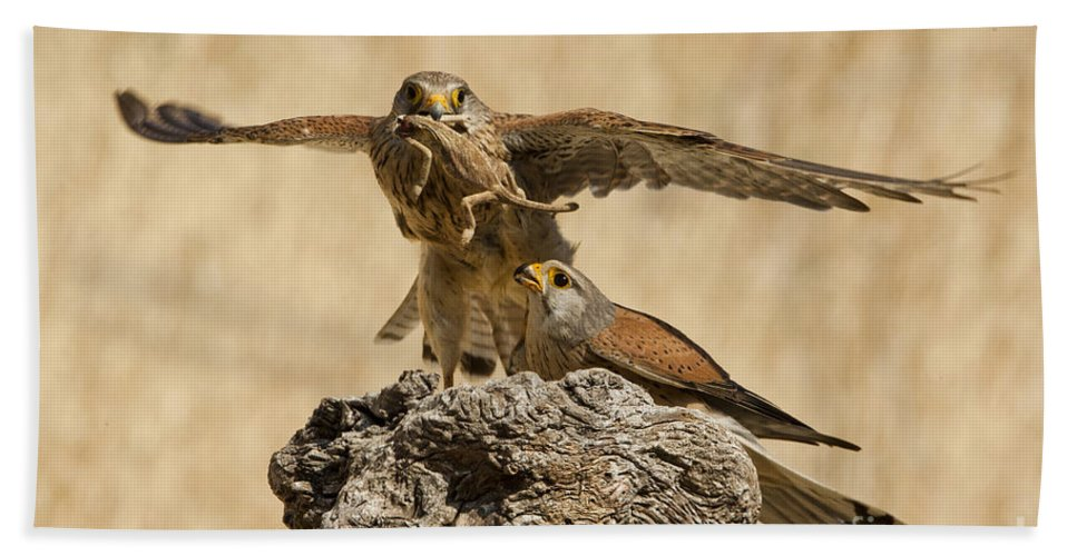 Common Kestrel Hand Towel featuring the photograph Common Kestrel Falco Tinnunculus by Eyal Bartov