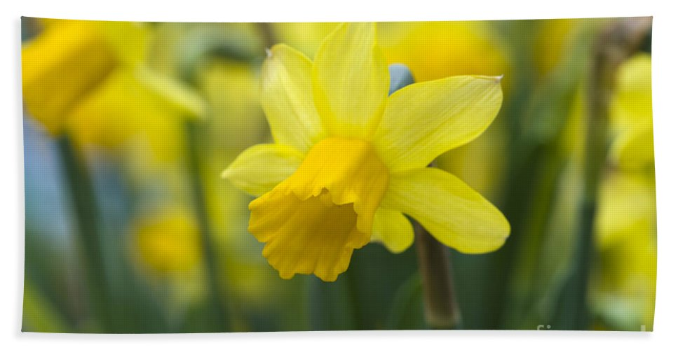 Daffodil Hand Towel featuring the photograph Daffodils by Lee Avison