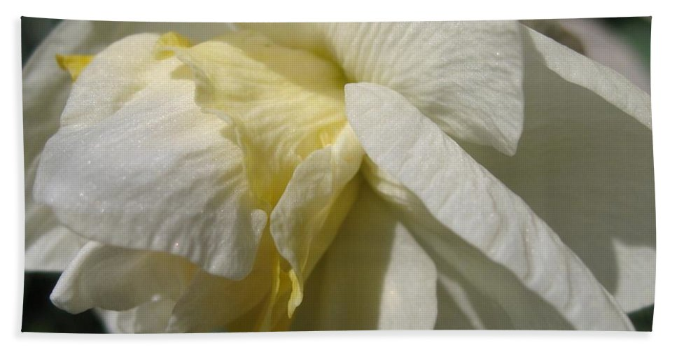 Mccombie Hand Towel featuring the photograph Double Daffodil Named White Lion by J McCombie
