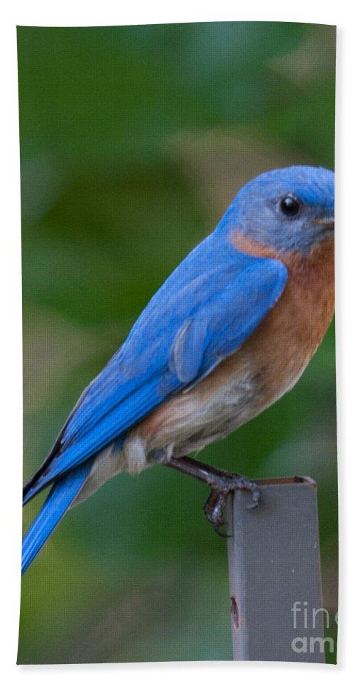 Eastern Blue Bird Bath Sheet featuring the photograph Eastern Blue Bird by Dale Powell