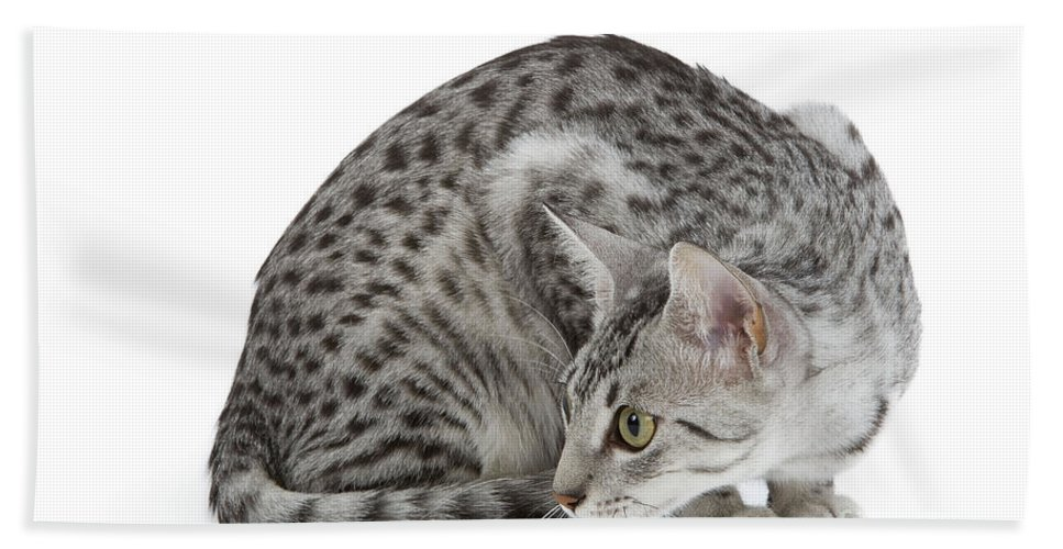 Cat Bath Sheet featuring the photograph Egyptian Mau Cat by Jean-Michel Labat