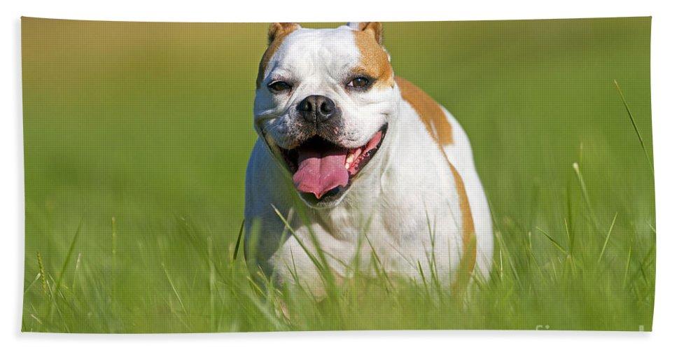 English Bulldog Bath Sheet featuring the photograph English Bulldog by M. Watson