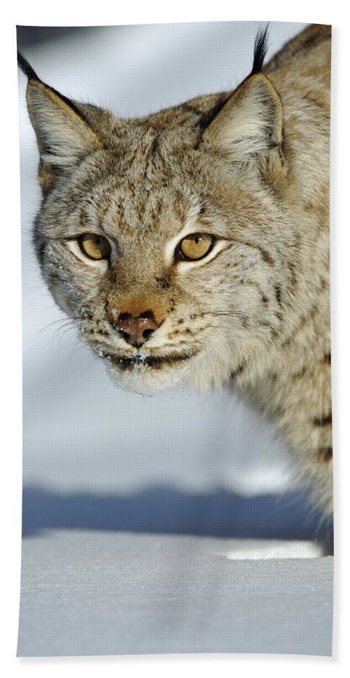 Fn Hand Towel featuring the photograph Eurasian Lynx In Snow by Willi Rolfes