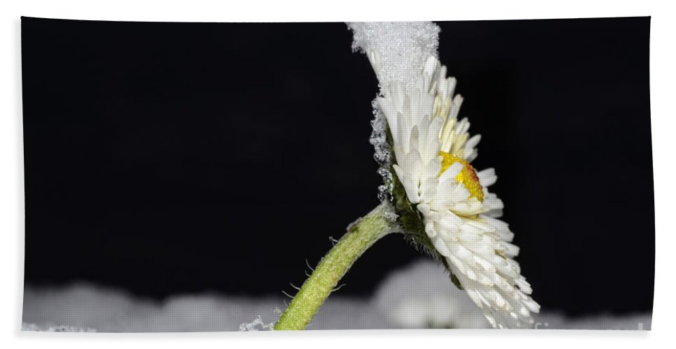 Flower Hand Towel featuring the photograph Flower With Snow by Mats Silvan