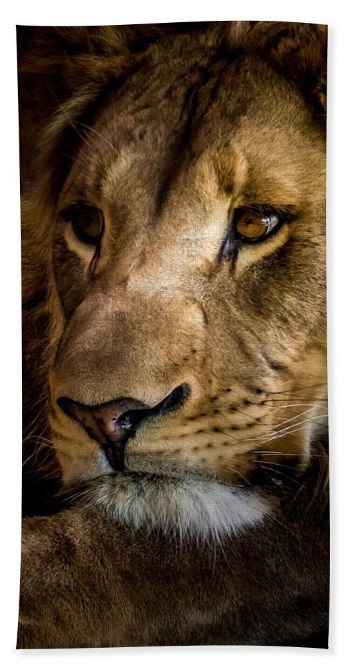 Lion Hand Towel featuring the photograph Focused by Ernie Echols