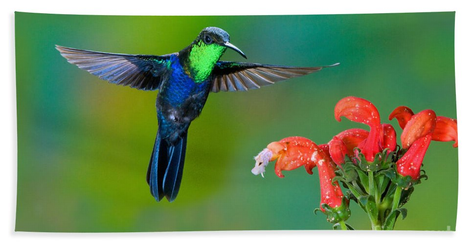 Animal Hand Towel featuring the photograph Fork-tailed Woodnymph by Anthony Mercieca