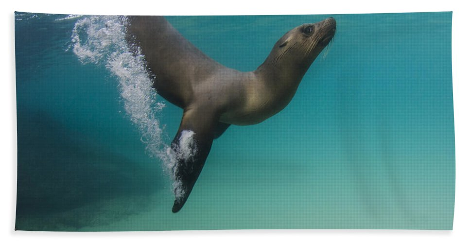 Pete Oxford Bath Towel featuring the photograph Galapagos Sea Lion Swimming Ecuador by Pete Oxford