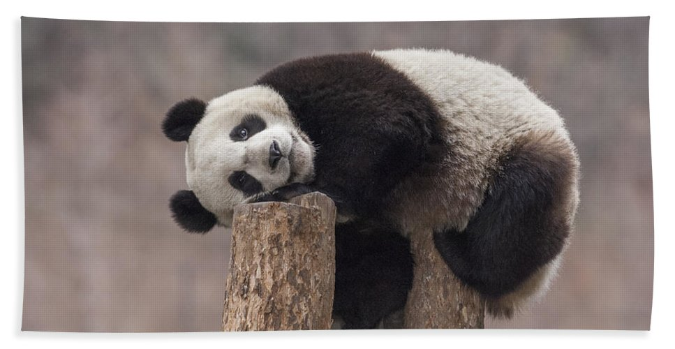 Katherine Feng Bath Towel featuring the photograph Giant Panda Cub Wolong National Nature by Katherine Feng