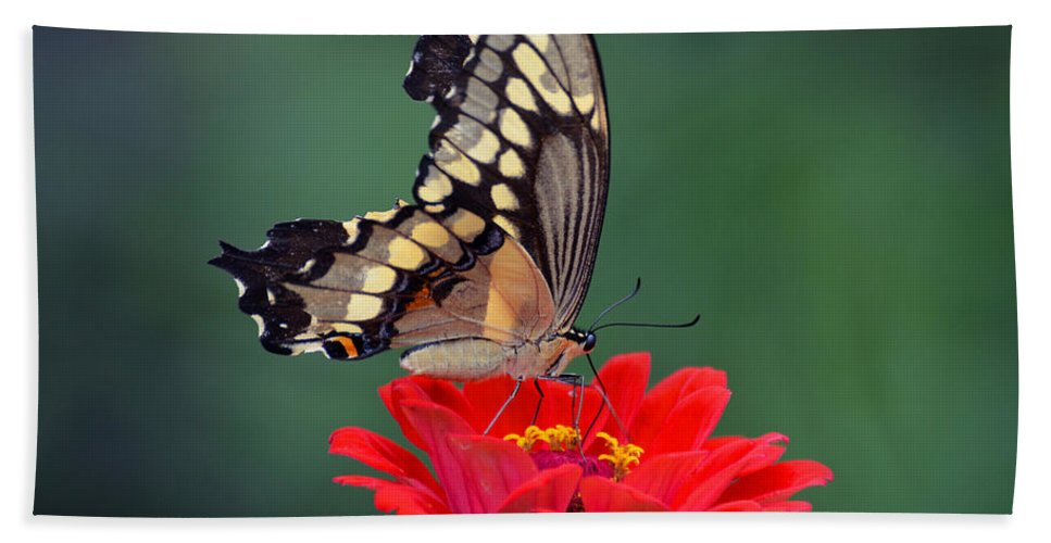 Butterfly Hand Towel featuring the photograph Giant Swallowtail by Rodney Campbell