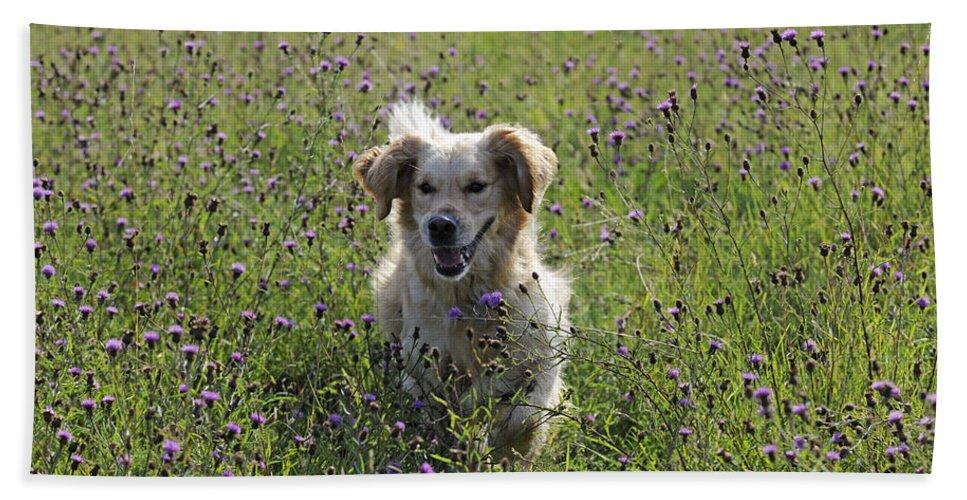 Golden Retriever Bath Sheet featuring the photograph Golden Retriever Dog by John Daniels