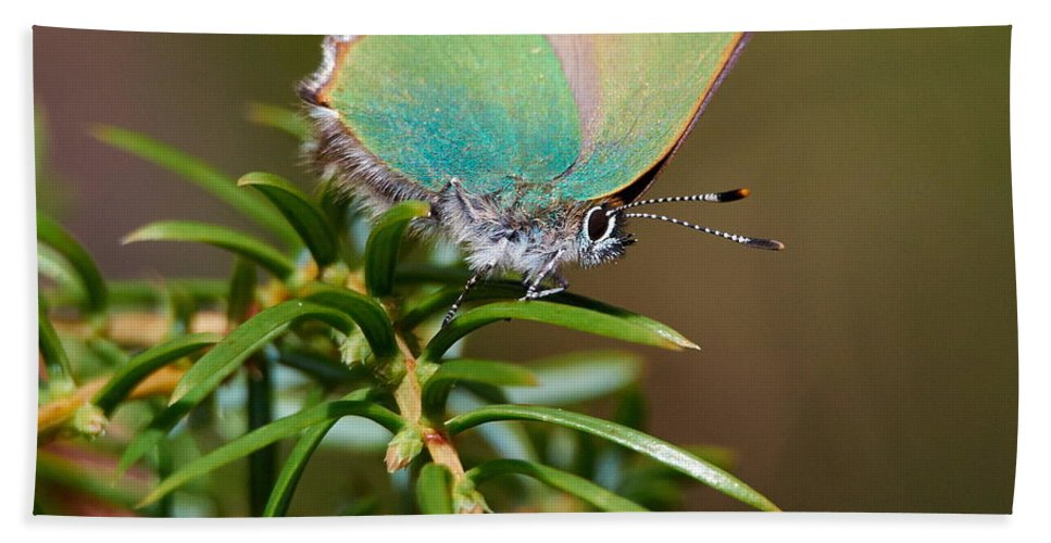 Callophrys Rubi Bath Sheet featuring the photograph Green Hairstreak by Jouko Lehto