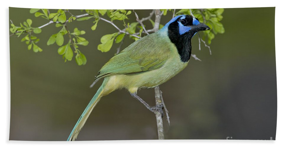 Green Jay Hand Towel featuring the photograph Green Jay by Anthony Mercieca