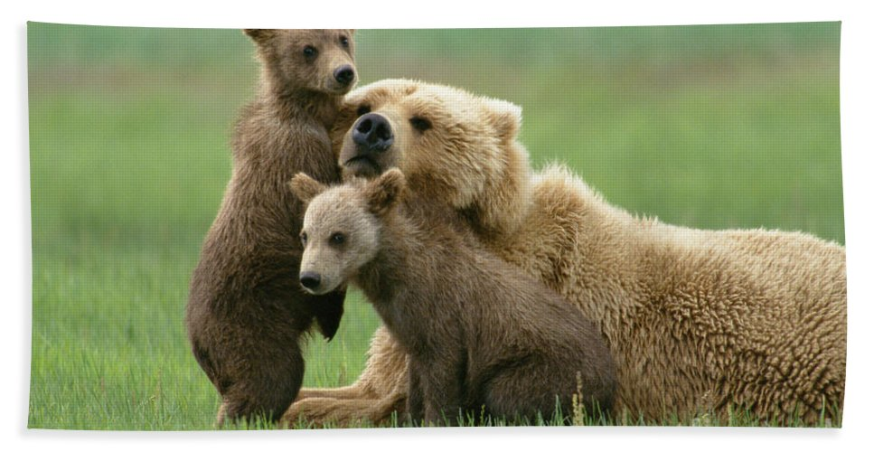00345263 Bath Towel featuring the photograph Grizzly Cubs Play With Mom by Yva Momatiuk John Eastcott