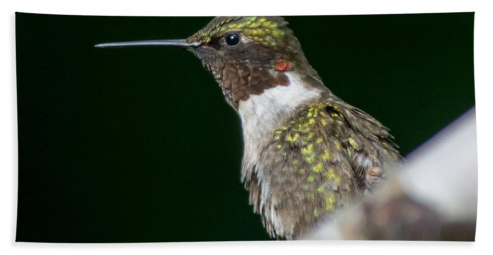 Bird Bath Sheet featuring the photograph Humming Bird by Richard Kitchen