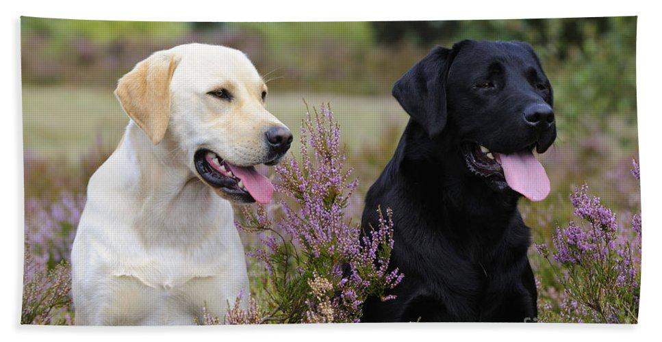 Labrador Retriever Bath Sheet featuring the photograph Labrador Retriever Dogs by John Daniels