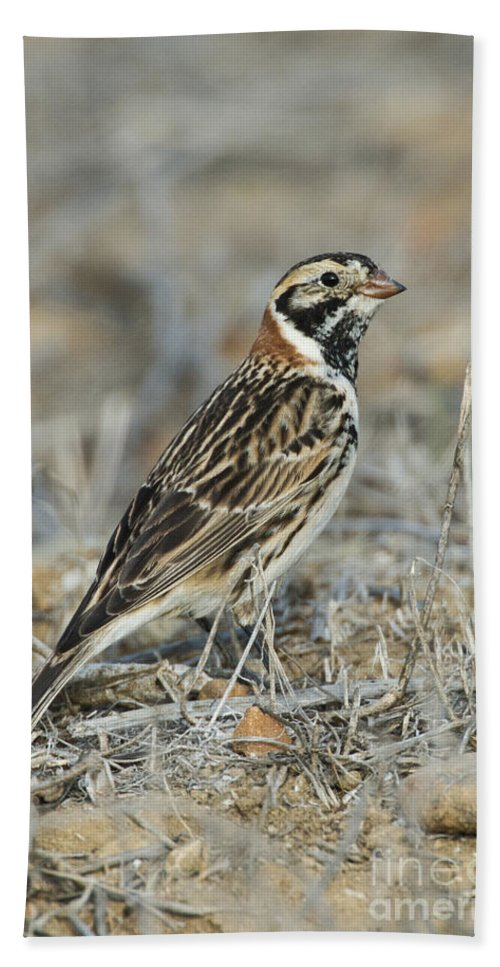Lapland Longspur Hand Towel featuring the photograph Lapland Longspur by Anthony Mercieca